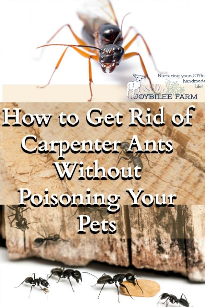 10 All Natural Tips To Get Rid Of Carpenter Ants 2 Jpg