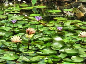 Lillies and more lillies