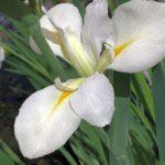 Iris in bloom, Koi Pond, April, 2016