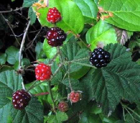 Rubus-ursinus-2