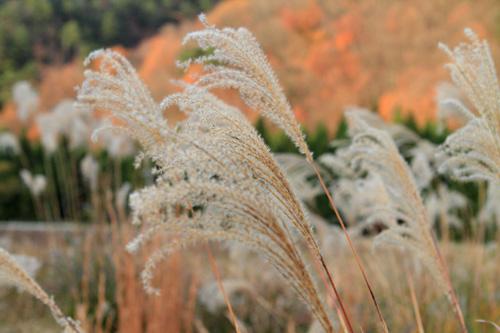 okuyama pampas-grass