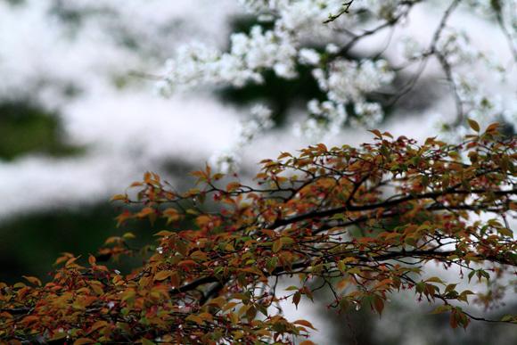 okuyamasakura13