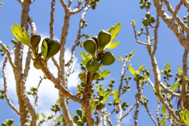 Fig Tree Thalori Traditional Village Kapetaniana Crete - Travelblog JoyDellaVita.com