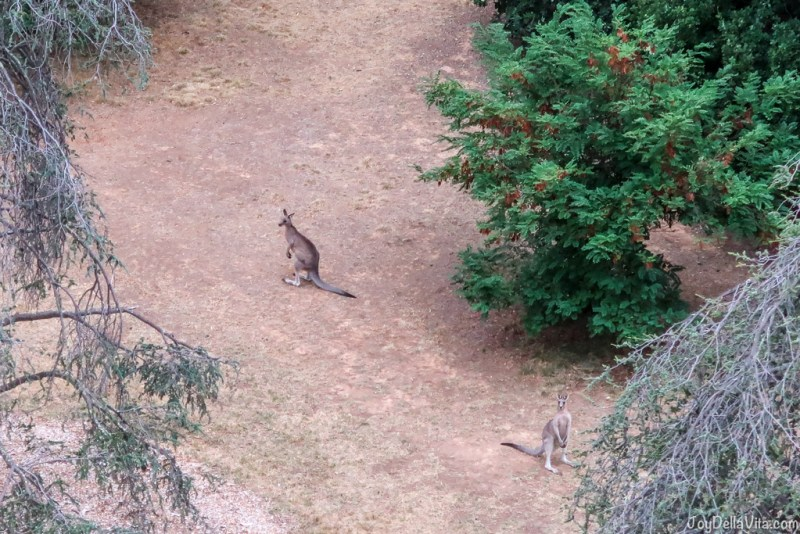 seeing kangaroos from the hot air balloon in Canberra