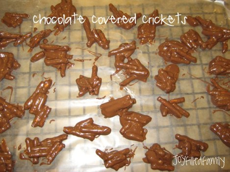 chocolate covered crickets