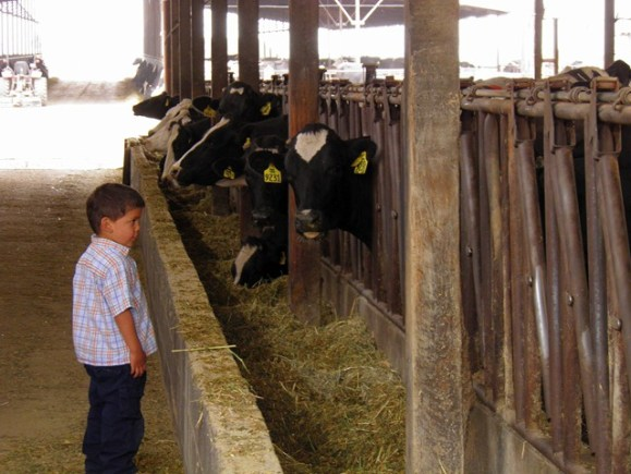 papi with cows
