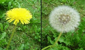 dandelion color pic