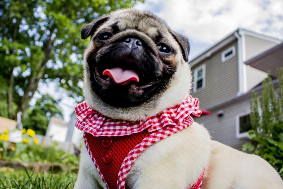 Cute Pug Red Blouse