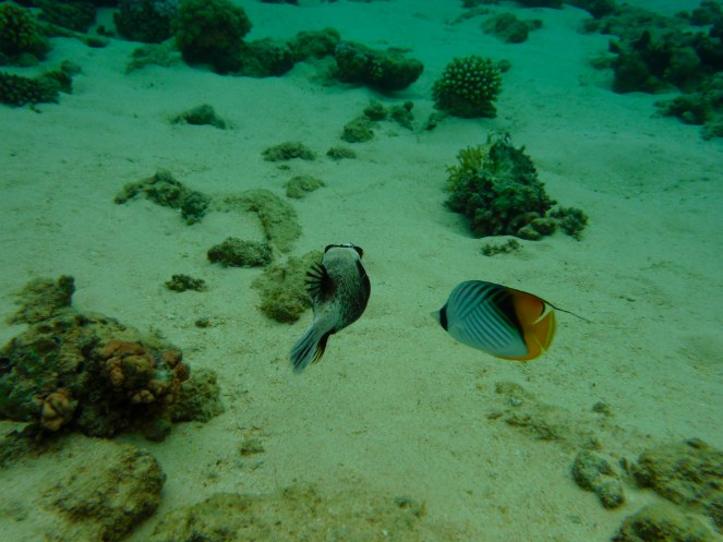 Masked Puffer Fish and a Threadfin Butterfly