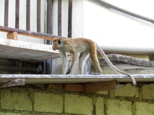 A toque macaque monkey climbing up one of the villas.
