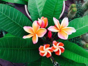 Joyful Surroundings logo colorful plumeria flowers with healthy green leaves