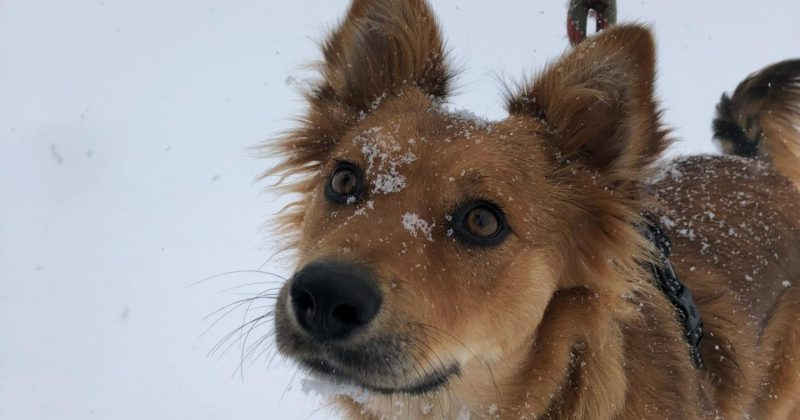 dog with snow on its nose looking up