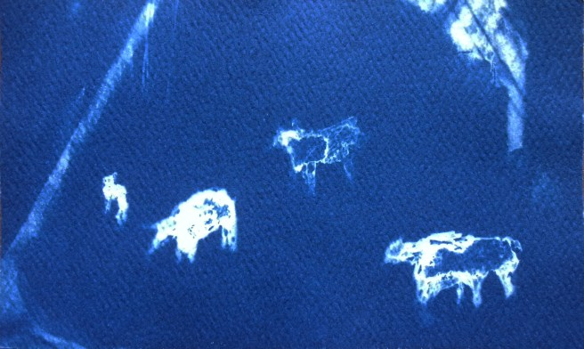 Pigs (Night Vision), 2014, cyanotype, 3x5 inches