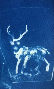 Stag 2 (Night Vision), 2014, cyanotype, 3x5 inches