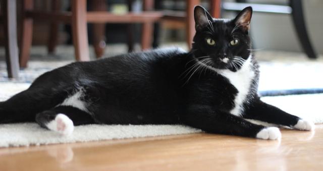 our tuxedo cat, domino