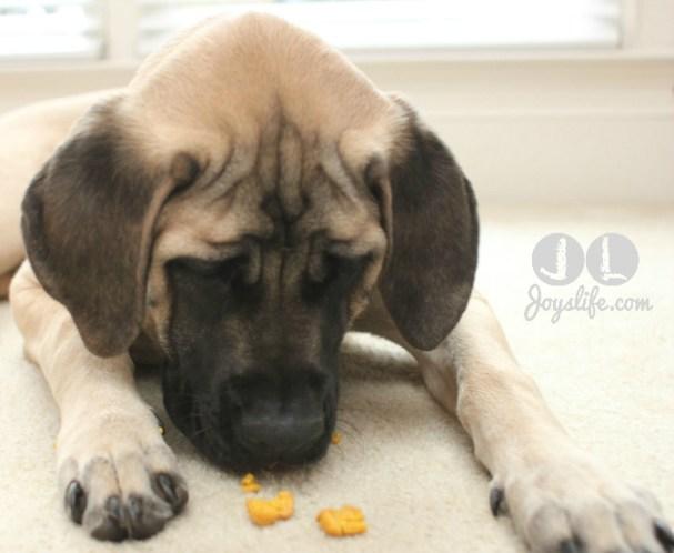 saban english mastiff eating dog biscuit at joyslife