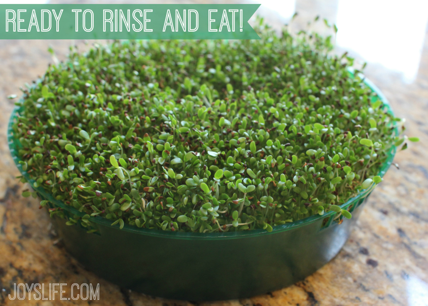 Grow Your Own Sprouts and Eat Healthy, Save Money & Know The Source #Healthy #Sprouts #Alfalfa