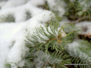snow on evergreen