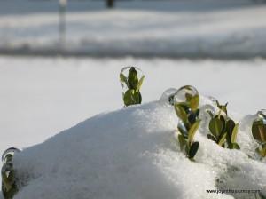 leaves encased in ice