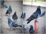 Pigeons in Johannesburg
