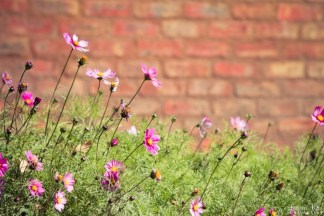 Cosmos flowers against a face brick wall