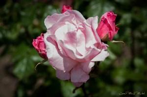 Rose rose, Rose Buttom ...