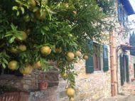 Pomegranite trees...