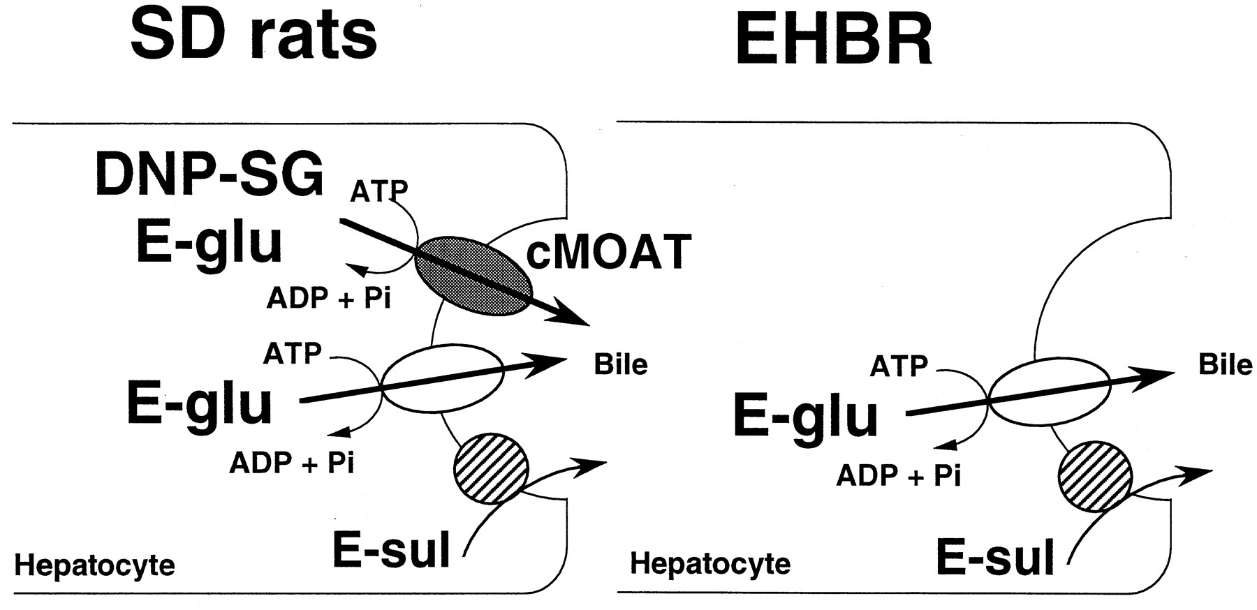 Kineticysis Of The Primary Active Transport Of