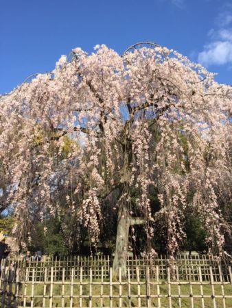 京都御所 桃と枝垂れ桜が、現在同時に美しく見られます!