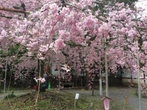 平野神社 桜.JPG