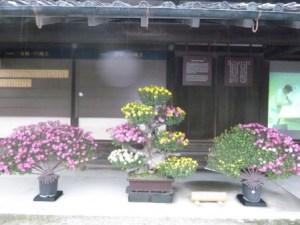 二条城 10月 菊