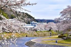 今出川・北須川の桜並木