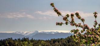 Blomstring på Haugland med Folgefonna i bakgrunne.