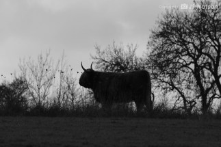 Black And White Highland Cattle