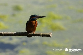 Incredible Kingfisher