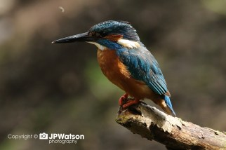 Kingfisher Looking Good