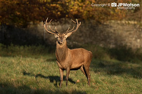 Early Morning Sunshine Stag