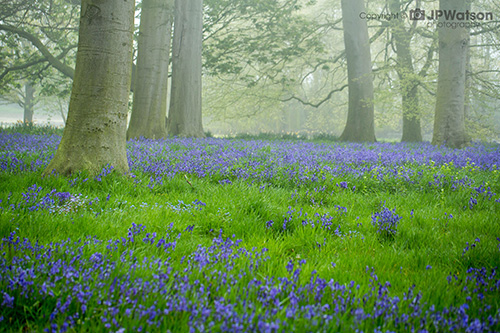 Misty Morning Bluebells