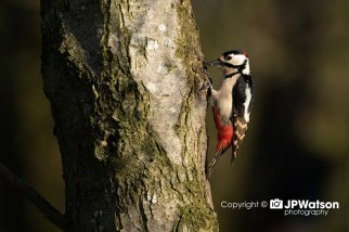 Great Spotted Woodpecker In The Sunshine