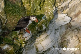 Puffin Ready For The Off