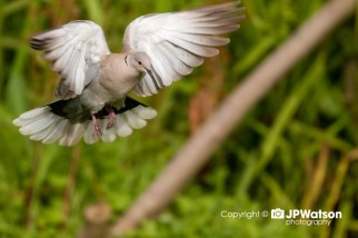 Floating Collared Dove