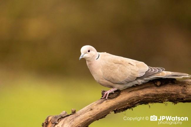 Collared Dove Resting