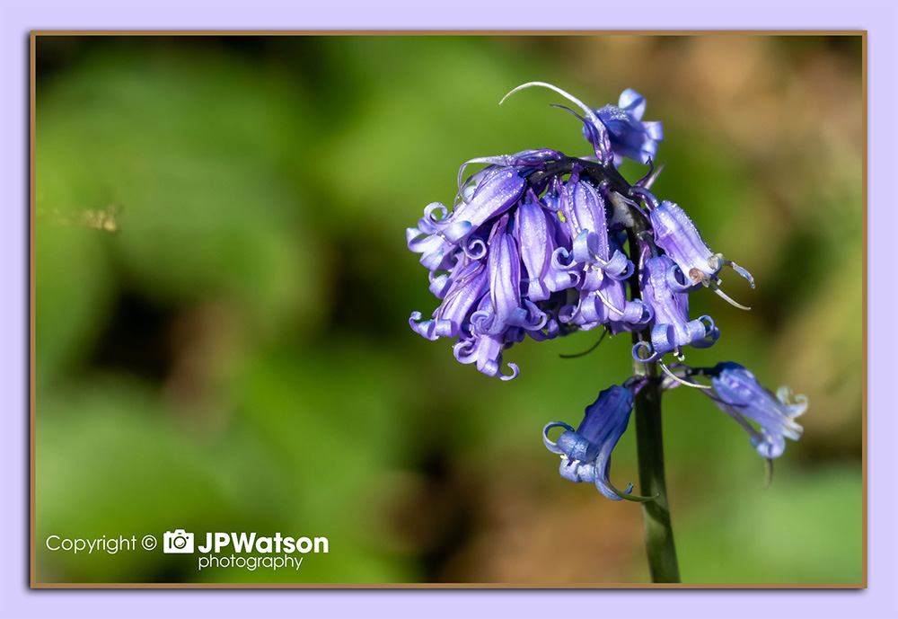 Close Up Bluebell