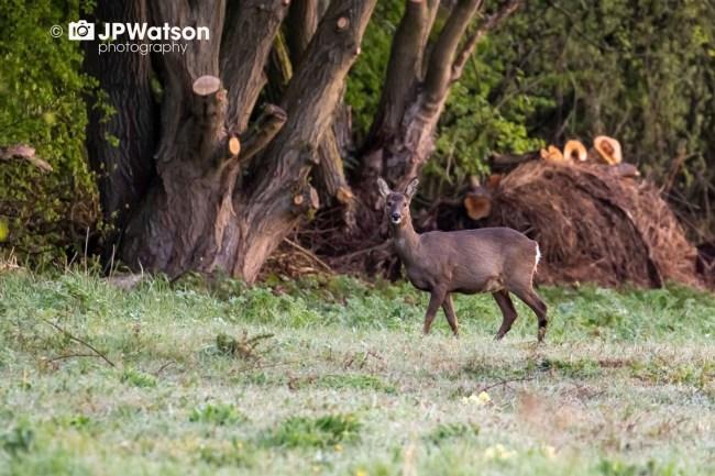 A Female Roe Deer