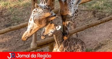 Zooparque de Itatiba registra nascimento de girafa
