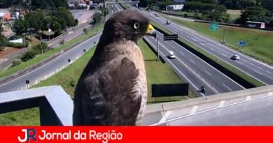 Gavião posa para câmera de rodovia da AutoBAn