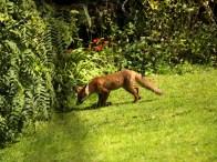 Fox, hunting, photo manipulation, animal, wildlife, animal, photo, photography, photograph,