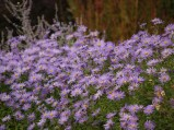 Purple flowers, daisies, photography, pretty, purple plants, wildlife, photography, photo