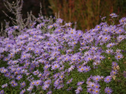 Purple flowers, daisies, photography, pretty, purple plants, wildlife, photography, photo