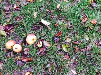 Apples that were ripe fell from the tree